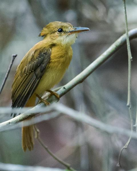 Royal Flycatcher (Pacific)
