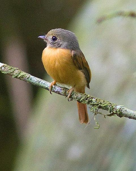 Ruddy-tailed Flycatcher