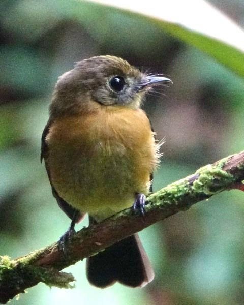 Tawny-breasted Flycatcher