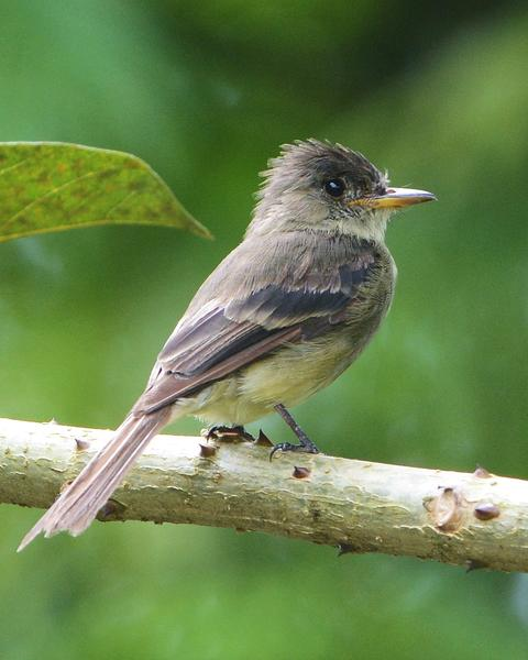 Tropical Pewee