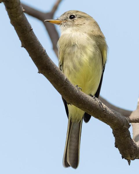 Gray Flycatcher