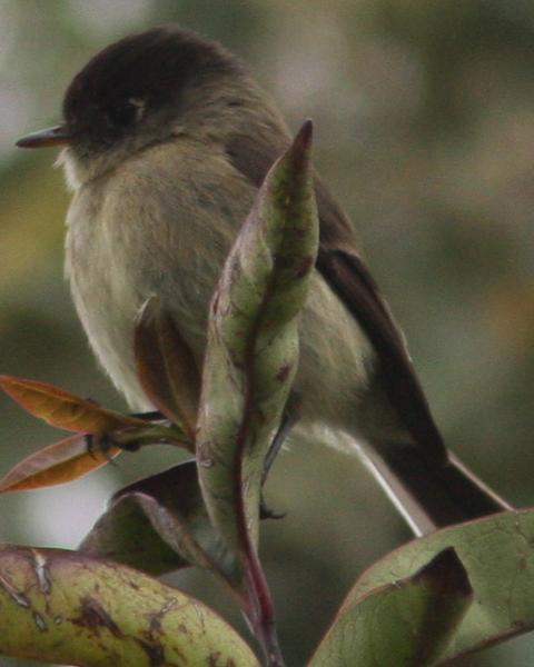 Black-capped Flycatcher