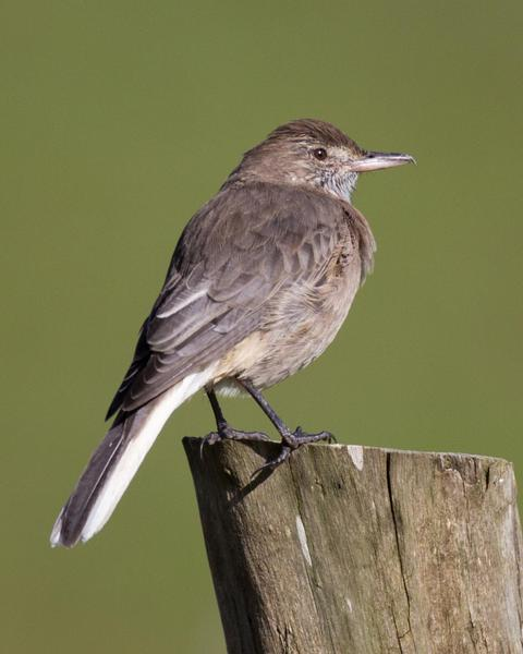 White-tailed Shrike-Tyrant