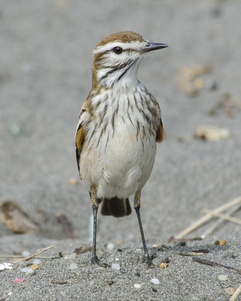 Rusty-backed Monjita