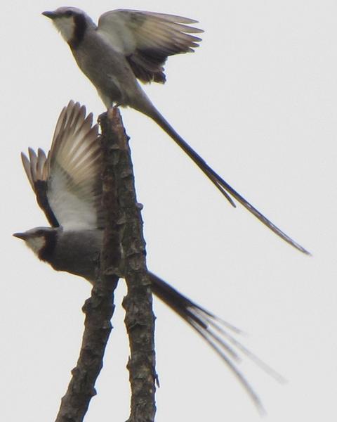 Streamer-tailed Tyrant
