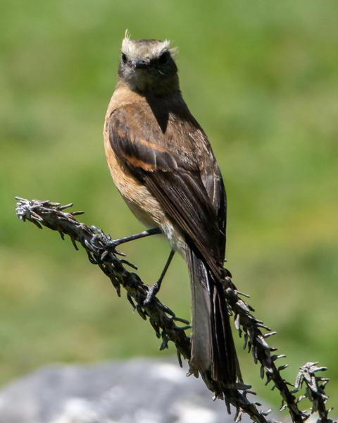 Brown-backed Chat-Tyrant