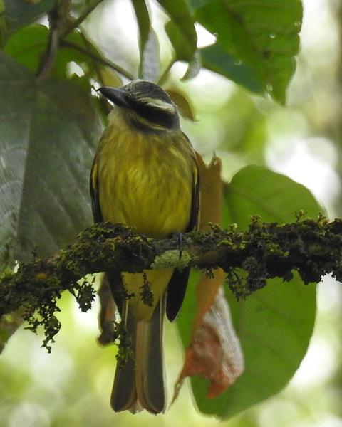 Golden-crowned Flycatcher