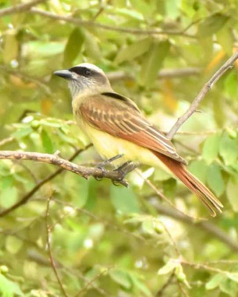 Baird's Flycatcher