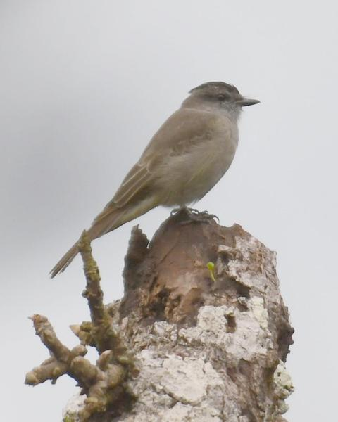 Crowned Slaty Flycatcher