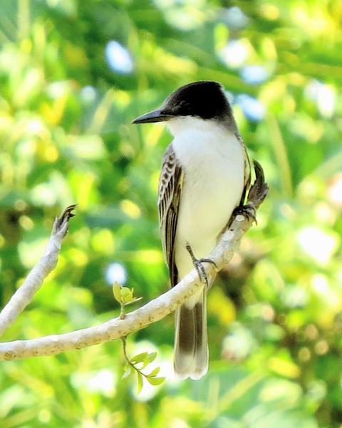 Loggerhead Kingbird