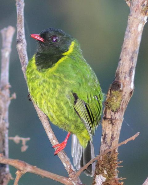 Green-and-black Fruiteater (chachapoyas)