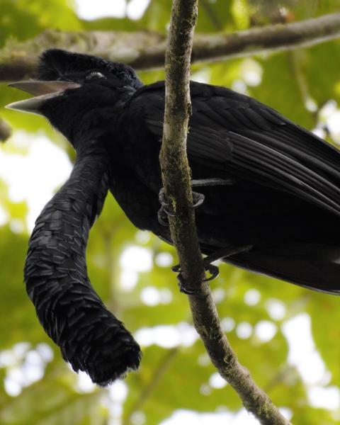 Long-wattled Umbrellabird