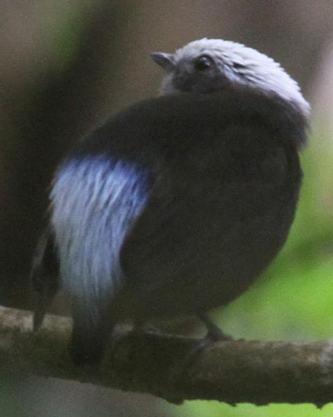 Blue-rumped Manakin