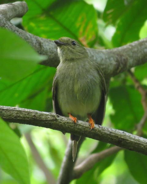 Long-tailed Manakin