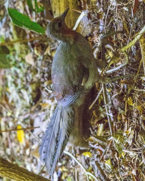Superb Lyrebird