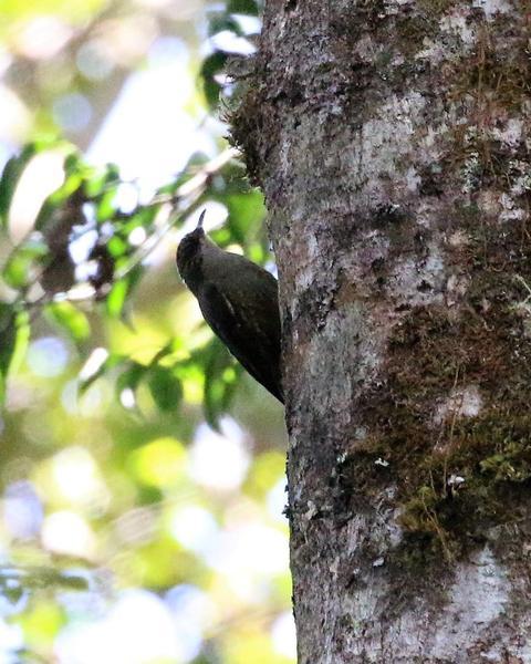 Papuan Treecreeper