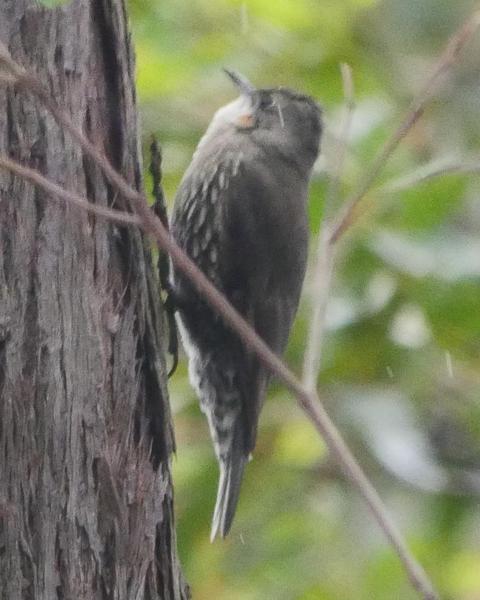 White-throated Treecreeper