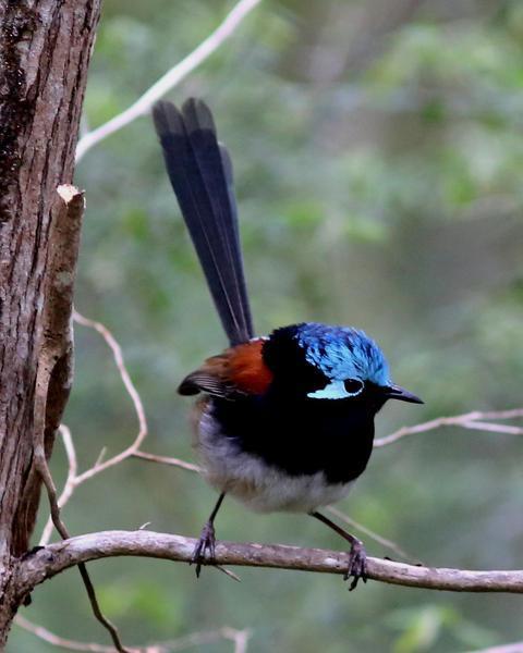 Red-winged Fairywren