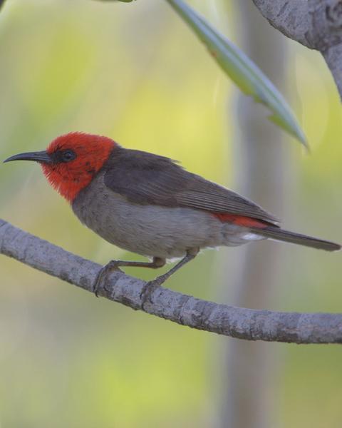 Red-headed Myzomela