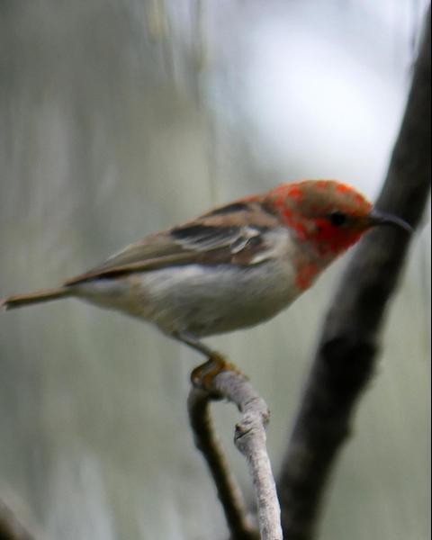Scarlet Myzomela