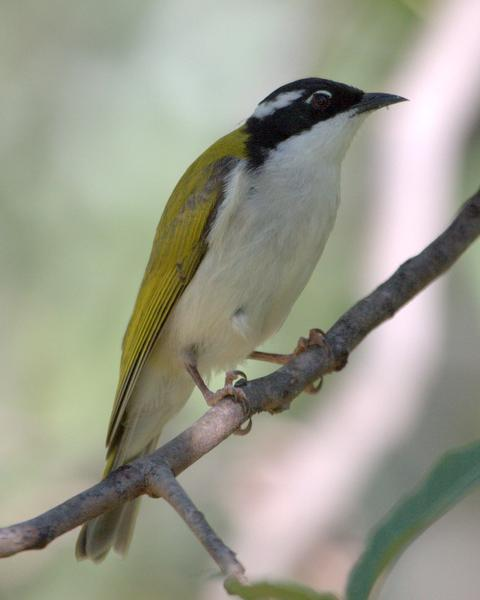 White-throated Honeyeater