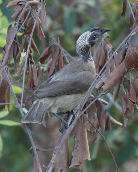 Helmeted Friarbird