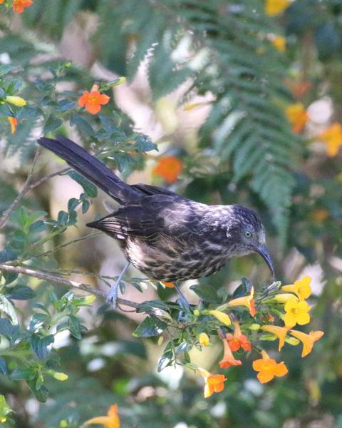 Gray-streaked Honeyeater