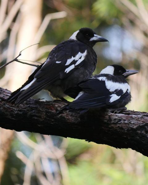 Australian Magpie (Western)