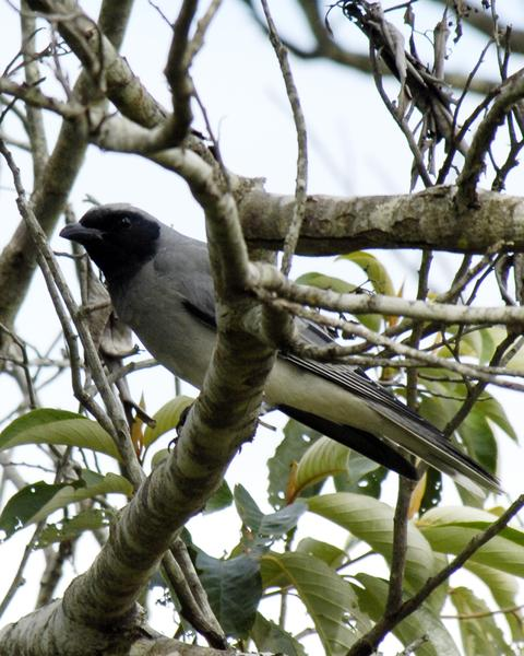 Black-faced Cuckooshrike