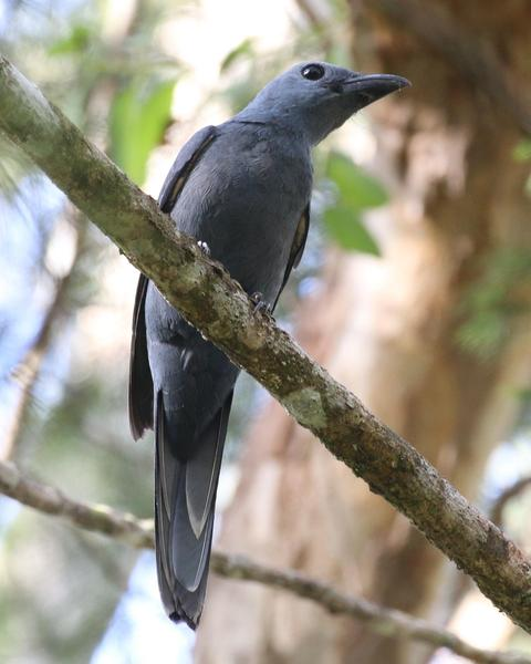 Stout-billed Cuckooshrike