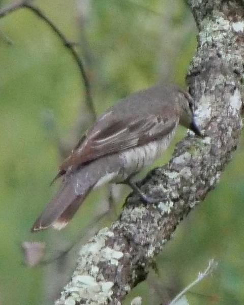 Common Cicadabird