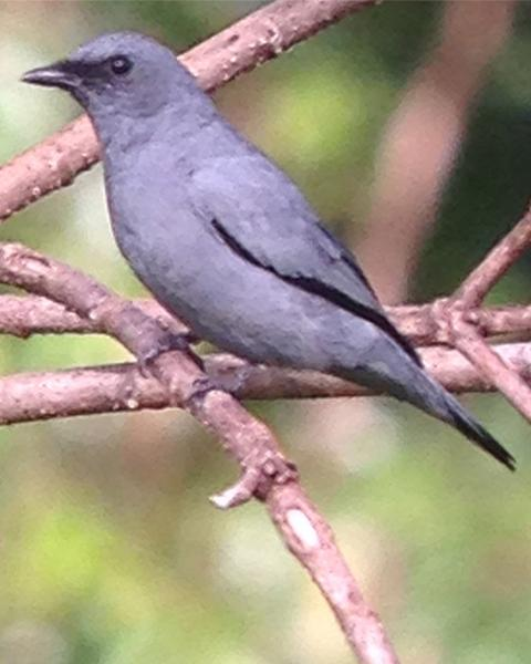 Gray-headed Cicadabird