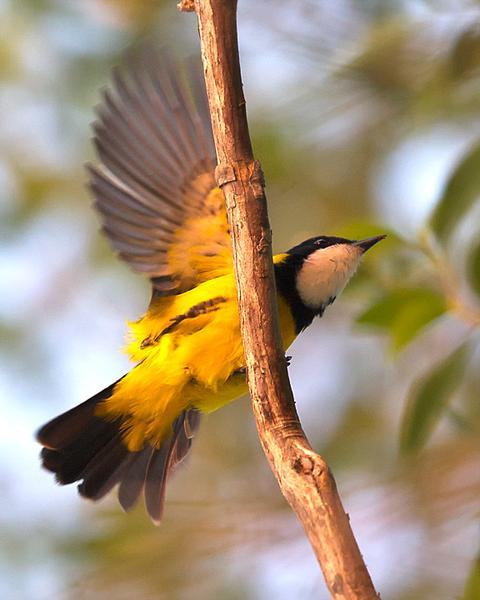 Black-tailed Whistler