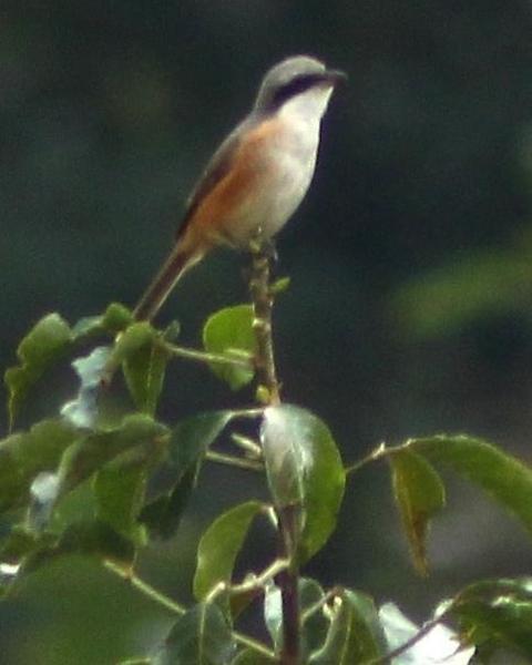 Gray-backed Shrike