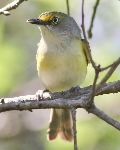 White-eyed Vireo (White-eyed)