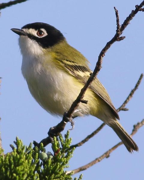 Black-capped Vireo
