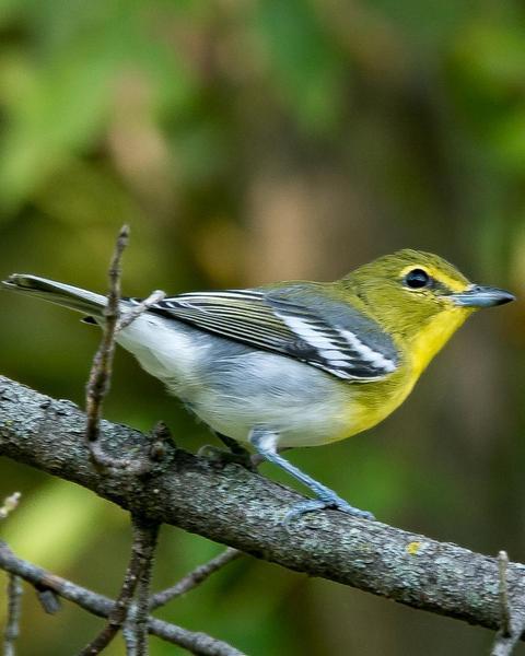 Yellow-throated Vireo