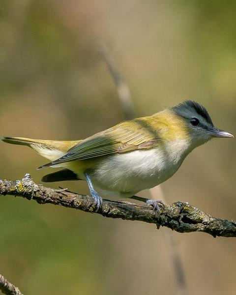 Red-eyed/Chivi Vireo