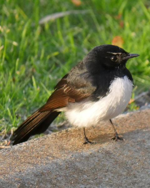 Willie-wagtail