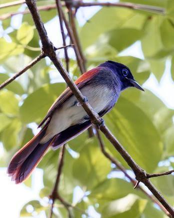Japanese Paradise-Flycatcher