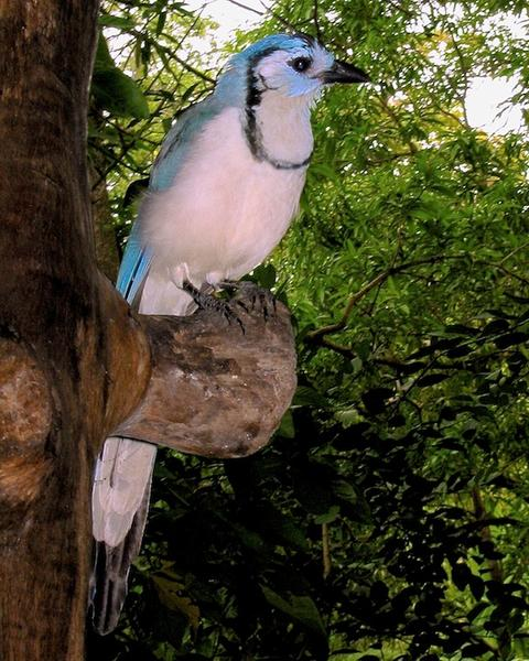 White-throated Magpie-Jay