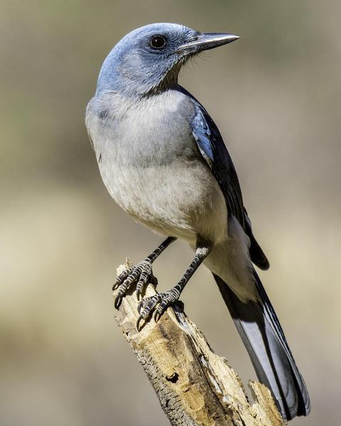 Mexican Jay (Arizona)