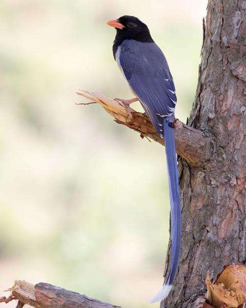 Red-billed Blue-Magpie