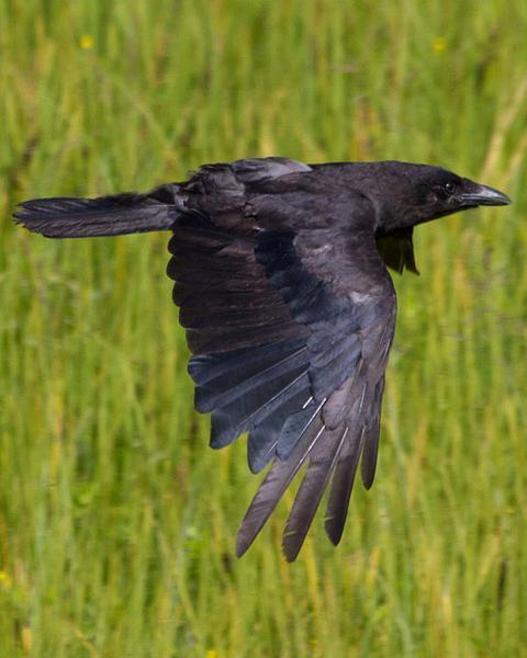 Northwestern Crow