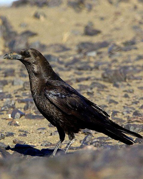 Brown-necked Raven