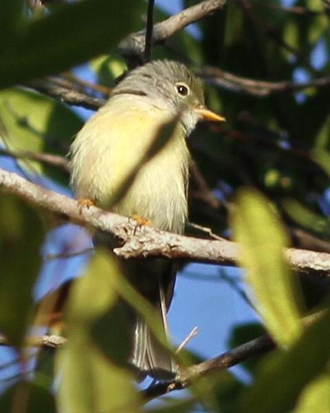 Yellow-legged Flycatcher