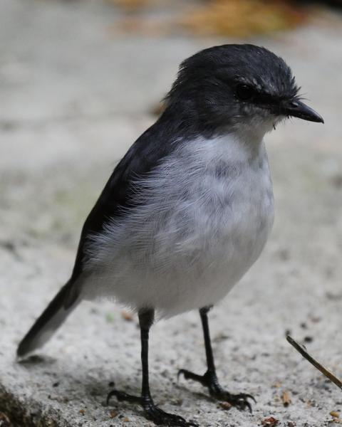 White-breasted Robin