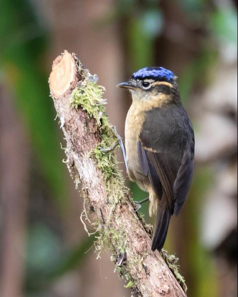Blue-capped Ifrita