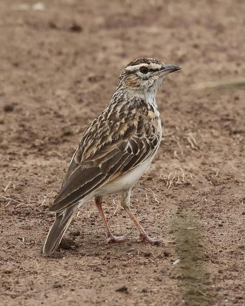 Fawn-colored Lark