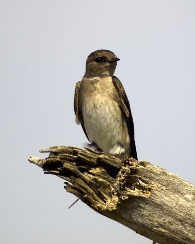 Northern Rough-winged Swallow (Northern)